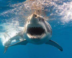 Los animales más peligrosos del mundo - 10 El tiburón blanco